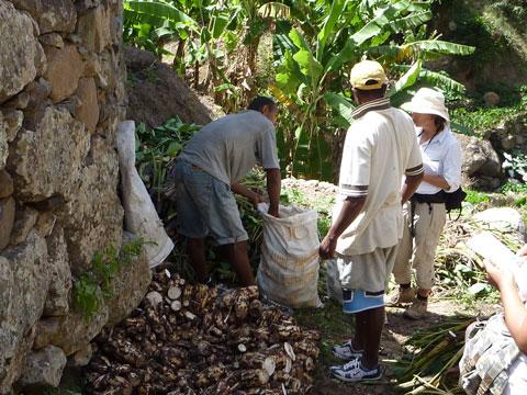Harvesting Manioc, Cape Verde