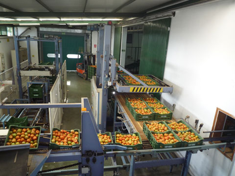 Tomato production Canary Islands